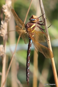 Male dragonfly we have been watching