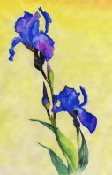 blue_irises_by_naglets-d2yie11
