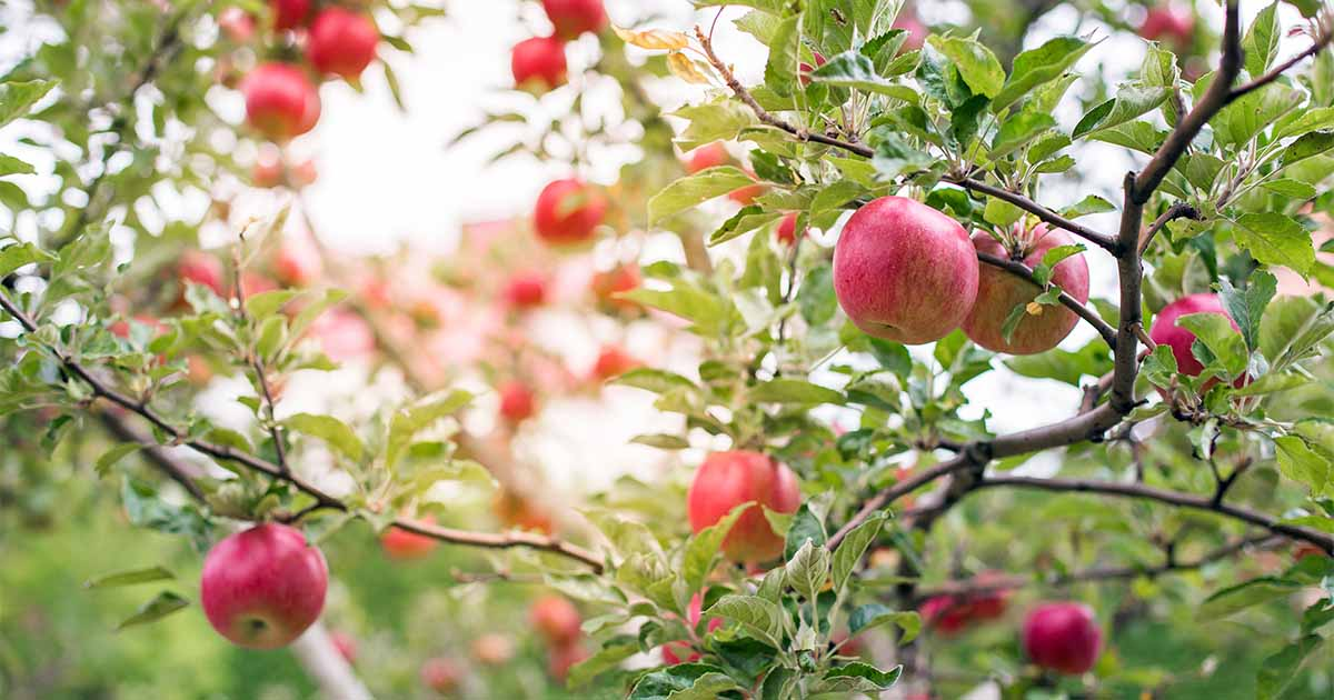 Best-Types-of-Apples-to-Plant-Together